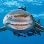 Интересные Факты О Тупорылой Акуле
