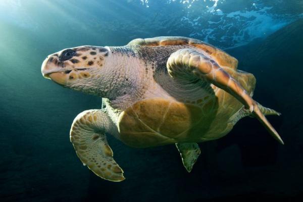 Логгерхед (головастая черепаха)