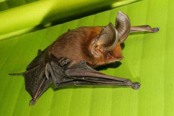 Мадагаскарский присосконог