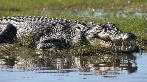 Гребнистый (морской) крокодил