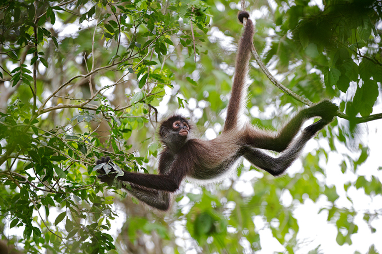 Коаты (паукообразная обезьяна)