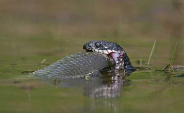 водяная змея ест