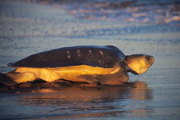 Австралийская зелёная черепаха