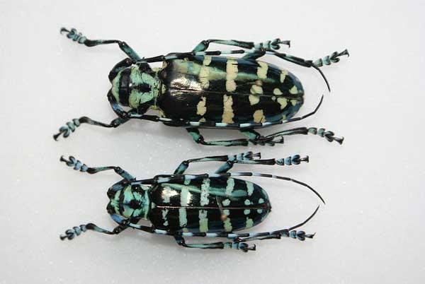 Anoplophora graafi