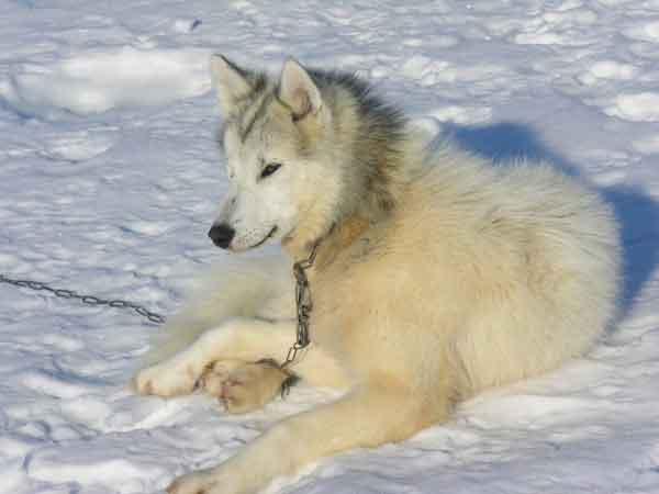 Канадская Эскимосская Собака