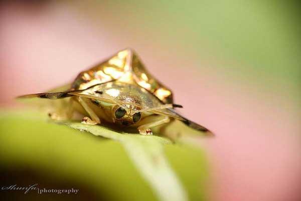 Жук золотая черепаха (Charidotella sexpunctata