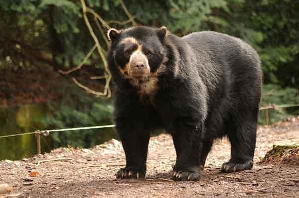 Очковый медведь (Tremarctos ornatus)