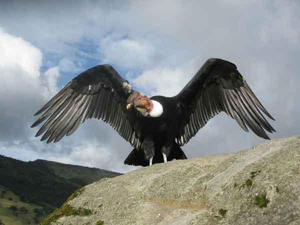 Андский кондор (Vultur gryphus)