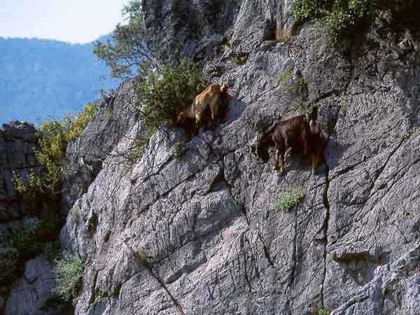 Альпийский горный козел может ходить по холмам