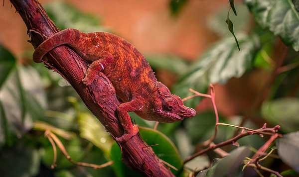 Большинство хамелеонов меняют цвета