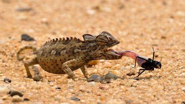 Длинные липкие языки хамелеона