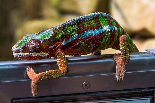Уникальные ноги хамелеона