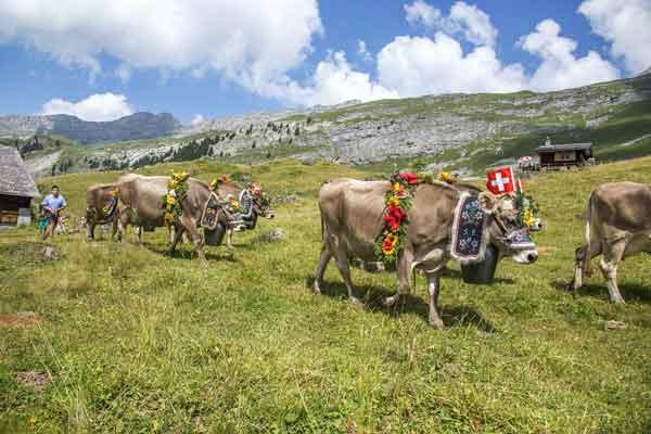 арендовать корову в Швейцарии