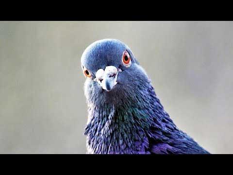 Голуби запоминают лица