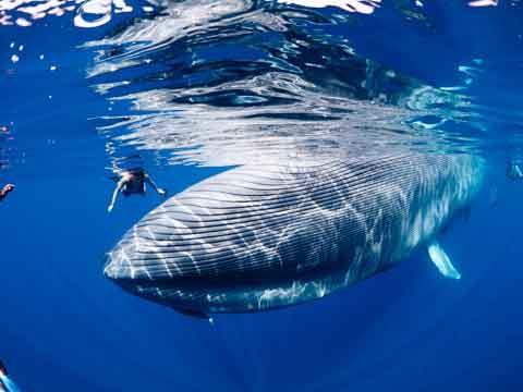 У голубых китов огромные сердца