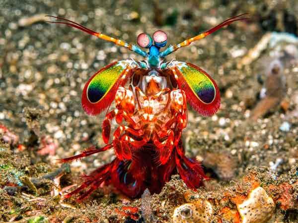 Креветки-богомолы способны на все