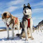 Породы собак, похожие на волков