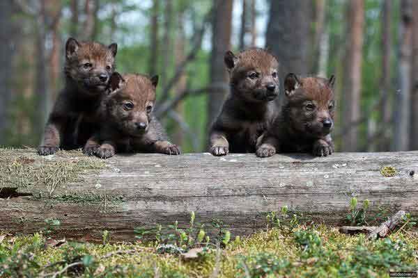 Молодые волки