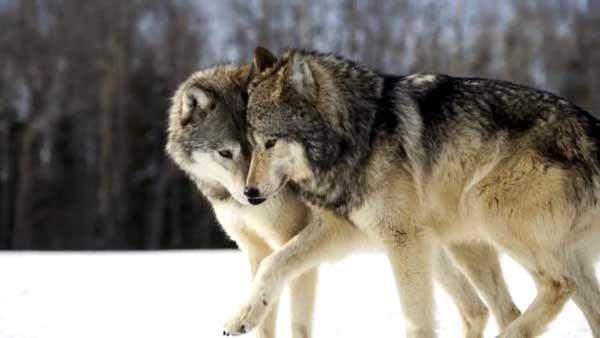 пара волков