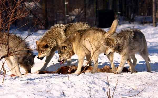 Волки-плотоядные животные