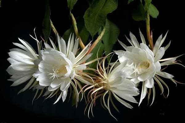 Эпифиллум оксипеталум (Epiphyllum oxypetalum)