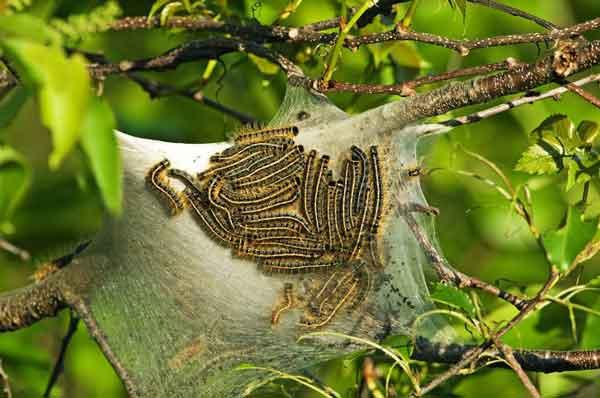 Кольчатые коконопряды используют феромоны