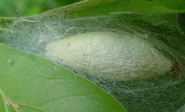 Гусеницы шелкопряда