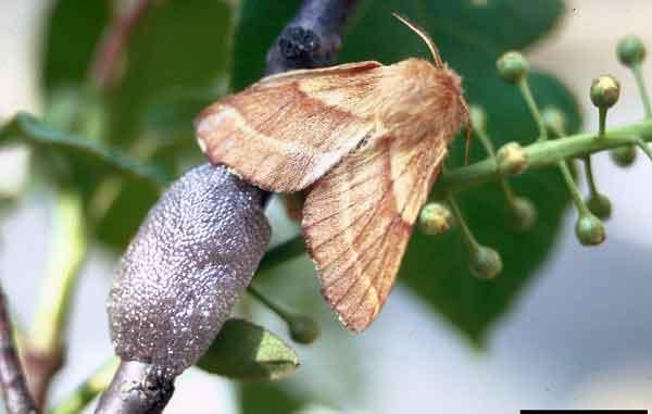 Бабочки коконопряда