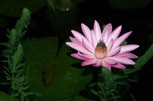Ночные водные лилии