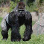 Серебряная горилла: факты из жизни серебристоспинного самца