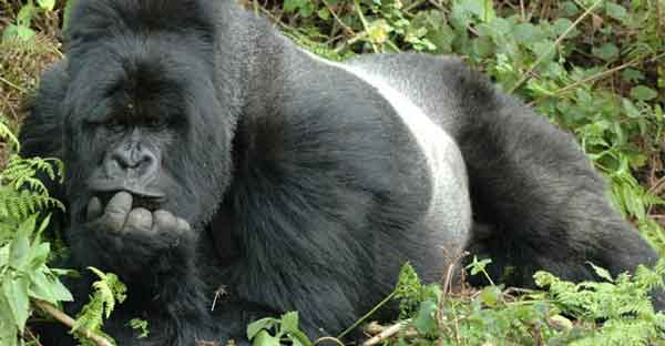 Серебряная горилла
