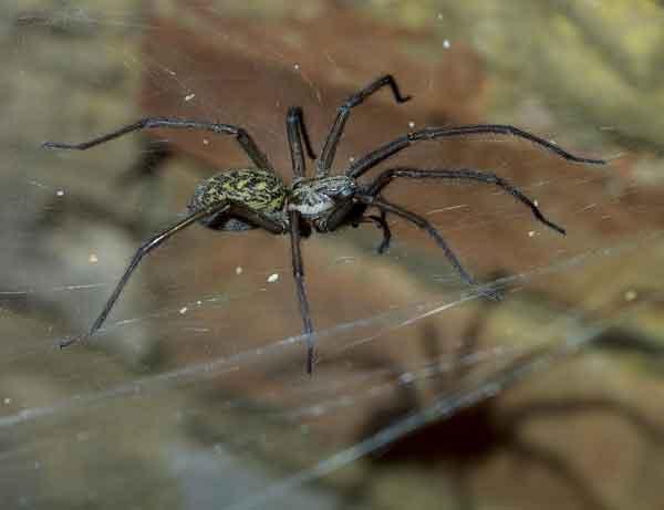 Домовый паук