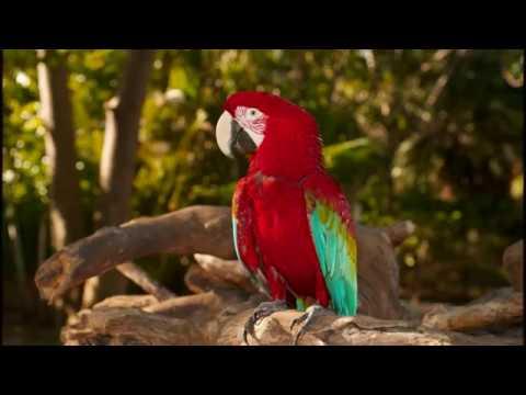 Красный Ара-национальная птица Гондураса