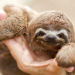 Забавные факты о ленивцах