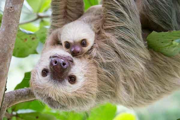 Детеныши ленивцев