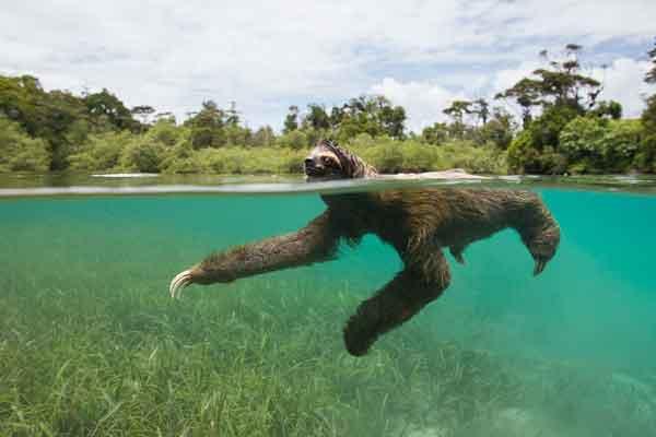 Ленивцы могут быстро плавать