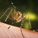 8 Наиболее Распространенных Заболеваний, Переносимых Комарами