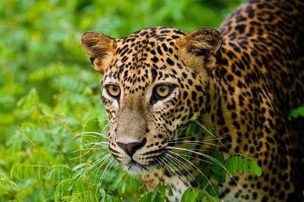 Азиатские леопарды