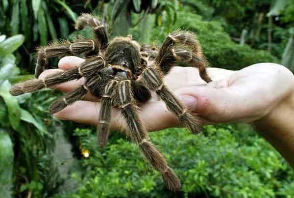 Австралийский тарантул