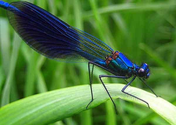 Красотка-девушка, или красотка темнокрылая