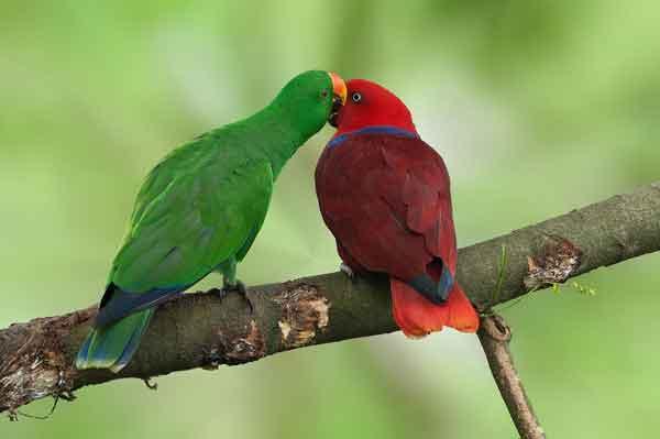 Эклектусы или благородные попугаи
