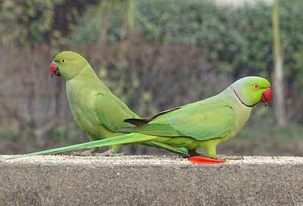 Индийский кольчатый попугай