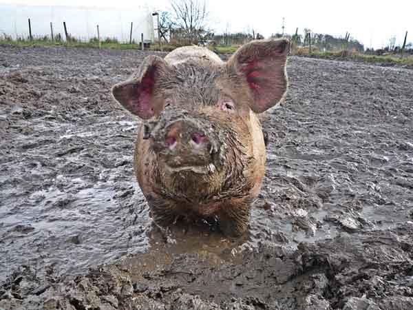 Свиньи грязнули