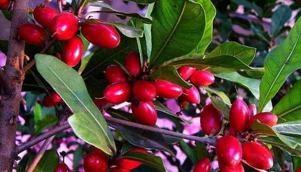 Магический фрукт или чудесные ягоды