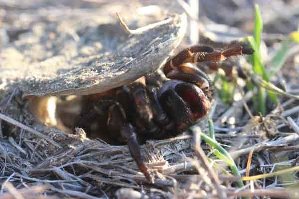 Скрытные пауки (Trapdoor spiders)
