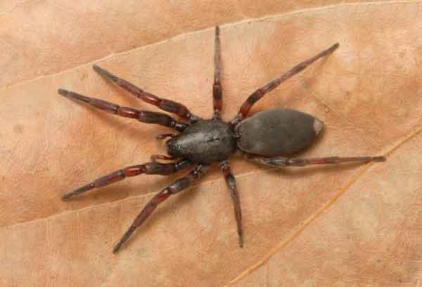 Белохвостый паук