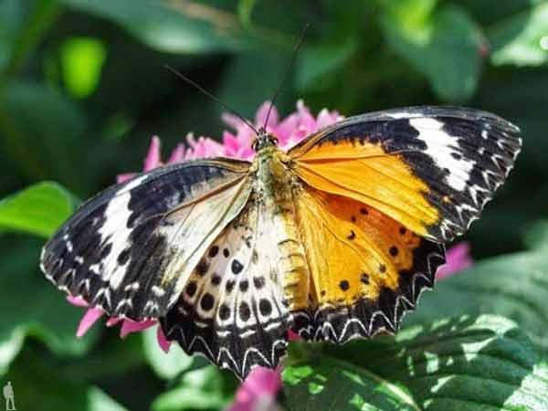Гинандроморф бабочка