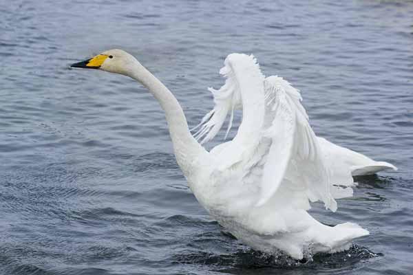 Лебедь-кликун
