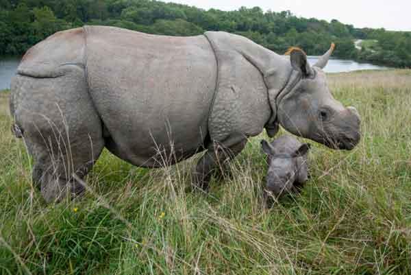 Однорогий носорог (Индийский носорог)