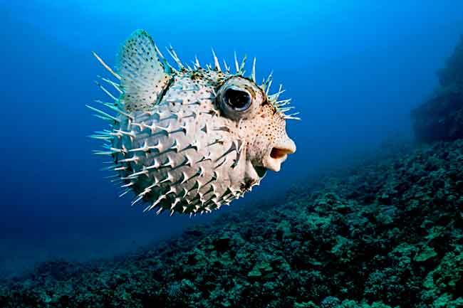 Настоящие рыбы-ежи